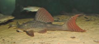Hypostomus khimaera