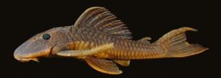 Hypostomus krishnamurtii