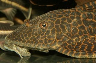 Hypostomus latifrons