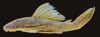 Hypostomus melanephelis