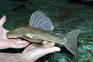 Hypostomus myersi