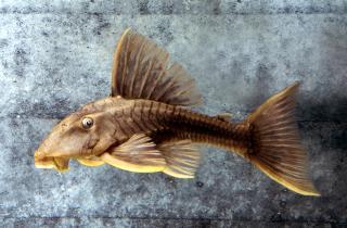 Hypostomus sp. (L360)