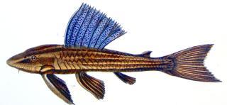 Hypostomus subcarinatus