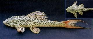 Hypostomus watwata