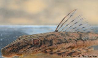 Lasiancistrus sp. (L516)