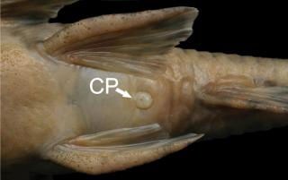 Neoplecostomus microps