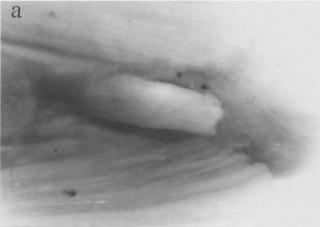 Otocinclus flexilis