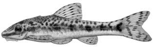 Otocinclus xakriaba