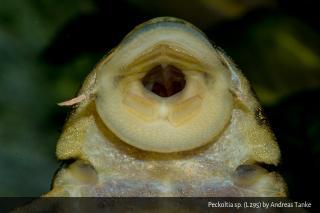 Peckoltia sp. (L211)