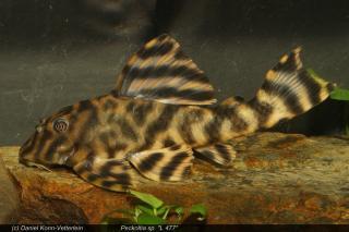 Peckoltia sp. (L477)