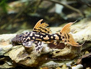 Pseudacanthicus sp. (L273)