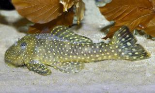Pseudancistrus sp. (L259)