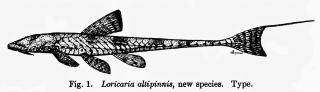 Rineloricaria altipinnis
