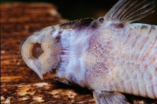 Rineloricaria sp. (3)