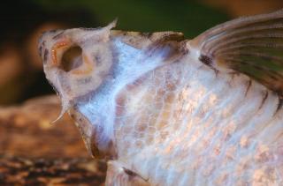 Rineloricaria sp. (4)