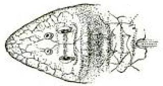 Spatuloricaria caquetae
