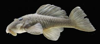 Spectracanthicus javae