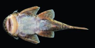 Transancistrus santarosensis