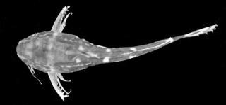 Microsynodontis armatus