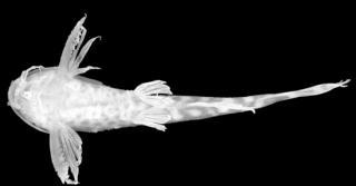 Microsynodontis notatus