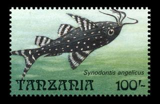Synodontis angelicus