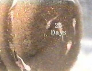 Synodontis lucipinnis