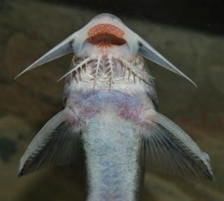 Synodontis violaceus
