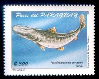 Pseudoplatystoma corruscans