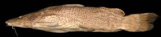 Steindachneridion scriptum