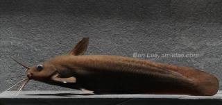 Neosilurus brevidorsalis