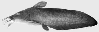 Tandanus bellingerensis