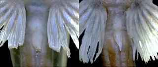 Microglanis berbixae