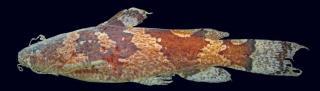 Microglanis carlae