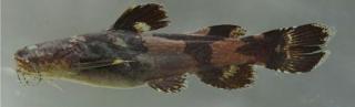 Microglanis cottoides