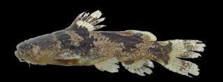 Microglanis leptostriatus