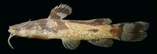 Microglanis maculatus