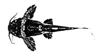 Microglanis nigripinnis