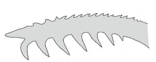 Microglanis nigrolineatus