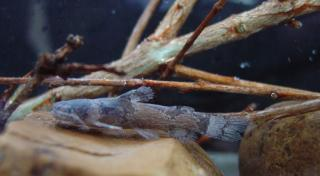 Microglanis oliveirai