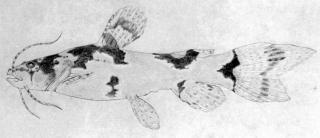 Microglanis poecilus