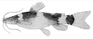 Microglanis secundus