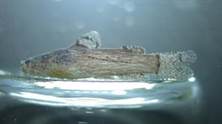Microglanis sparsus