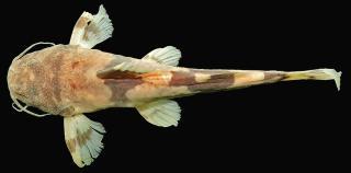 Rhyacoglanis annulatus