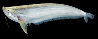 Belodontichthys truncatus