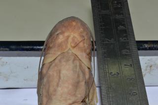 Pterocryptis barakensis
