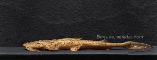 Bagarius suchus
