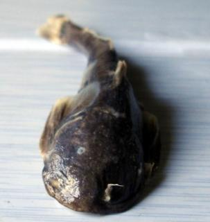 Glaridoglanis andersonii