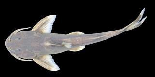 Glyptothorax decussatus
