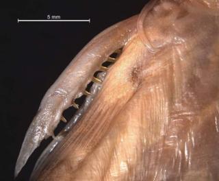 Glyptothorax distichus