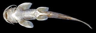 Glyptothorax radiolus